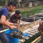 Rutan Sanggau Kembali Panen Ikan Lele Yang Dikelola Warga Binaan Rutan Sanggau