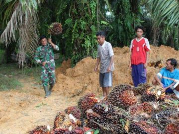 Satgas TMMD Kodim Sanggau Bantu Petani Panen Sawit