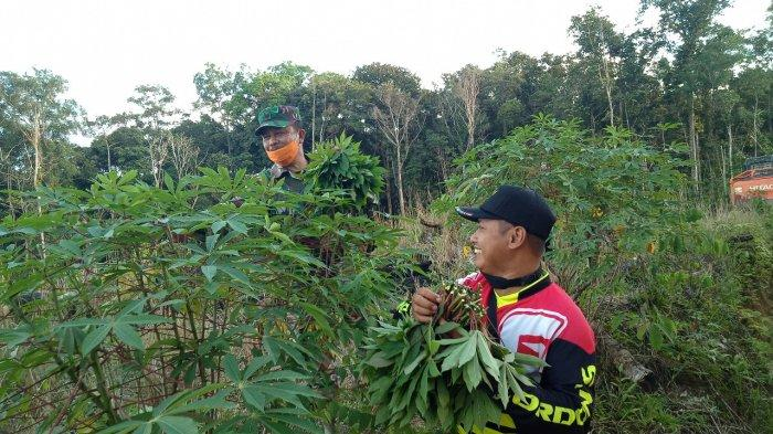 Satgas TMMD Kodim Sanggau Bantu Warga Panen Ubi di Lokasi TMMD