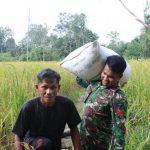 Satgas TMMD Kodim Sanggau Bantu Warga Desa Pandu Raya Panen Padi