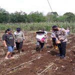 Polisi Sahabat Petani, Kapolsek Sanggau Ledo Ikut Tanam Jagung Bersama Petani