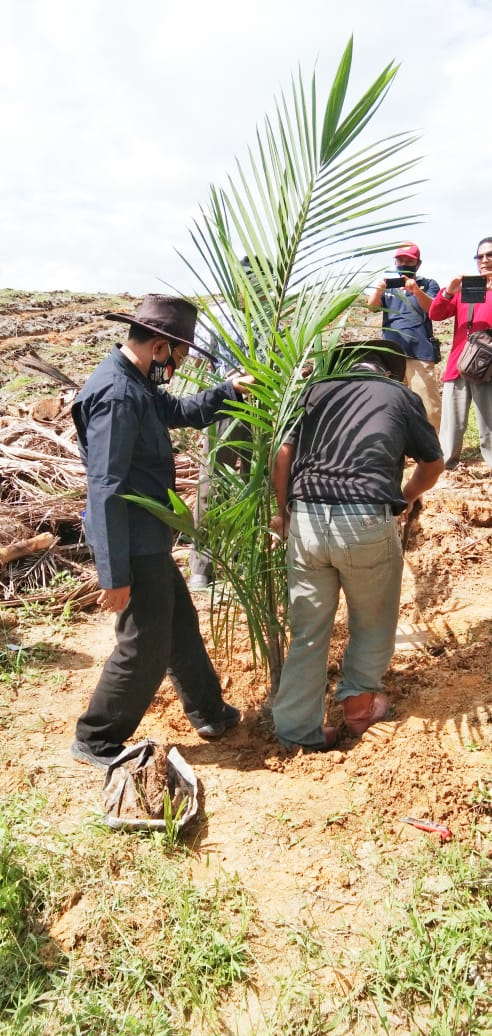 Kadis Bunnak Sanggau melakukan Penanaman Perdana Bibit Kelapa Sawit.