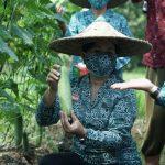 Ketua TP PKK Sanggau Ikut Memanen Tanaman Palawija P2L Dari Kelompok Wanita Tani Paber Jaya Desa Senyabang