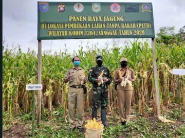Dandim Sanggau panen jagung di lahan tanpa bakar