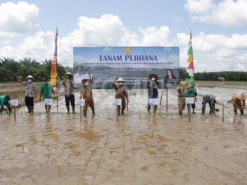 Wabup Sanggau Melaksanakan Penanaman Perdana Demfarm VUB Padi Khusus Dan VUB Padi Spesifik Lokasi Kalbar Di Desa Tunggal Bhakti