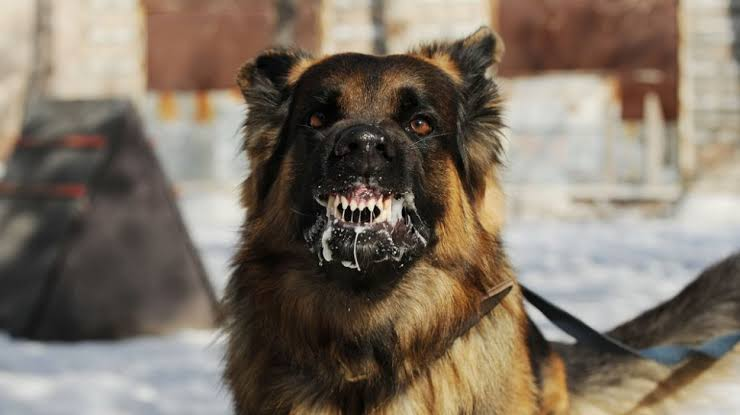 Dinkes Sanggau Minta Warga Waspada, Anjing Terpapar Rabies Mulai Ditemukan