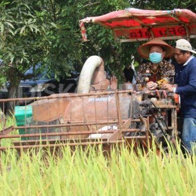 Wabup Sanggau Lakukan Panen Padi Perdana Varietas Inpari 37 Di Desa Tunggal Bhakti